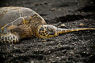 Long Days Night - Sea Turtle - Volcano National Park, Hawaii Edition of 100 EXP0173