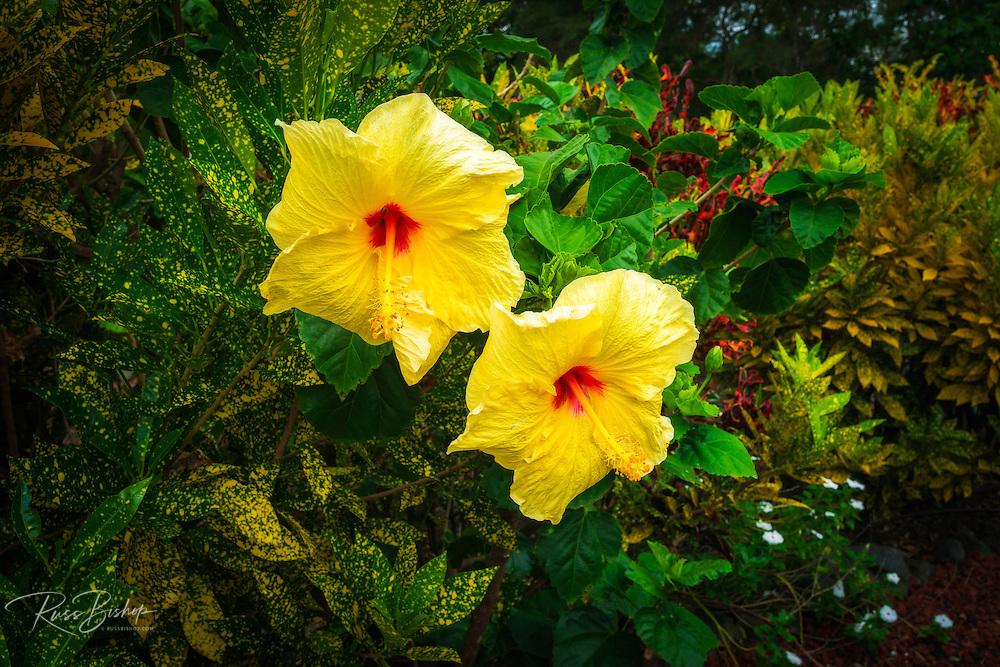 Hibiscus flowers in the Galaxy Garden, Paleaku Gardens Peace Sanctuary, Kona Coast, The Big Island, Hawaii USA