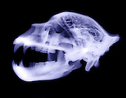 X-Ray of Kodiak bear skull (Ursus arctos middendorffi)
