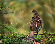 Ruffed grouse (Bonasa umbellus) on mossy log in rainforest, Olympic National Park, © 2000 David A. Ponton