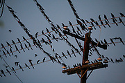 Birds on lines in San Antonio, TX on March 1, 2007.  (Photo/Lance Cheung) <br /> <br /> PHOTO COPYRIGHT 2007 LANCE CHEUNG<br /> This photograph is NOT within the public domain.<br /> This photograph is not to be downloaded, stored, manipulated, printed or distributed with out the written permission from the photographer. <br /> This photograph is protected under domestic and international laws.