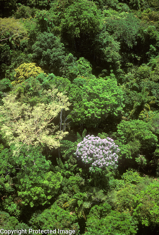 Aerial of rainforest canopy with tree in bloom, Amazon region, Para, Brazil.
