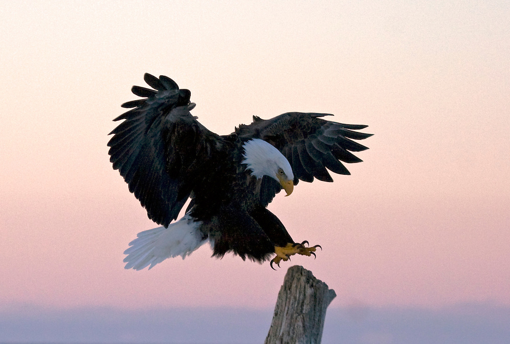 Alaska. Bald Eagle (Haliaeetus leucocephalus) landing on a beach snag at sunrise, Homer.