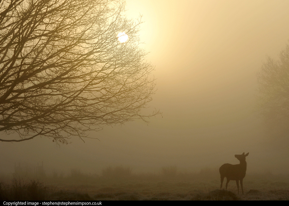 © Licensed to London News Pictures. 15/03/2012. Richmond, UK. A young deer looks at the sun as it breaks throughout the cloud. Foggy conditions at Richmond Park this morning, 15 march 2012. The weather is expected to be good across large parts of the UK for the day.  Photo credit : Stephen SImpson/LNP