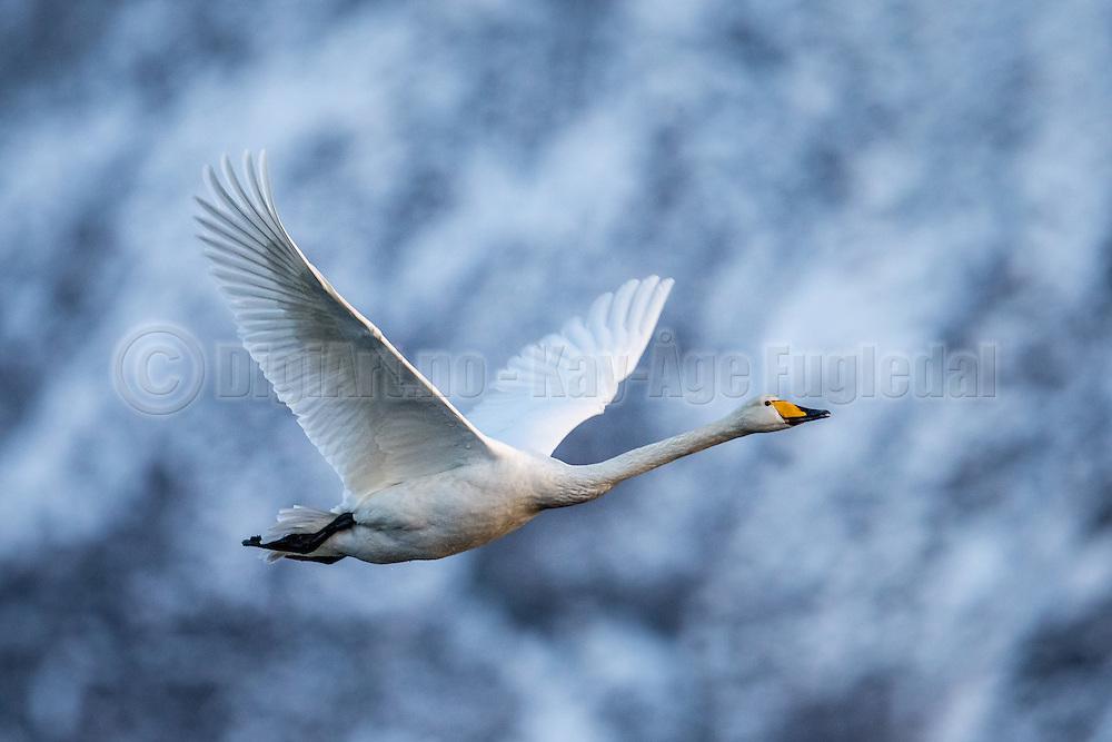 Whooper Swan in flight, with blue and gray background | Flyktende Sangsvane på blå og grå bakgrunn.