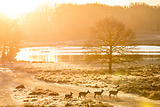 UNITED KINGDOM, London: 30 January 2019 Deer walk across the trodden path of a frosty Richmond Park in London this morning as the winter sun rises in the distance. The cold weather has caused chaos across the country and is set to get colder in the next few days.<br /> Rick Findler / Story Picture Agency