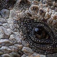 Ecuador, Galapagos Islands National Park, Santa Cruz Island, Puerto Ayora, Detail of Marine Iguana (Amblyrhynchus cristatus) resting near Darwin Research Station in