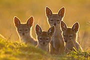 Black-backed Jackal<br /> Canis mesomelas<br /> 6 week old pup(s) at sunset<br /> Masai Mara Triangle, Kenya