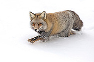 A formidable hunter, this cross fox patrolled his territory for hours, devouring numerous rodents he located under the deep snow. Eventually, the fox caught a duck and retreated to the trees for the remainder of the morning to enjoy his feast.