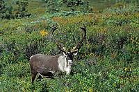 Bull Caribou (Rangifer tarandus); along Park Road near Wonder Lake in Denali National Park; antlers still in velvet
