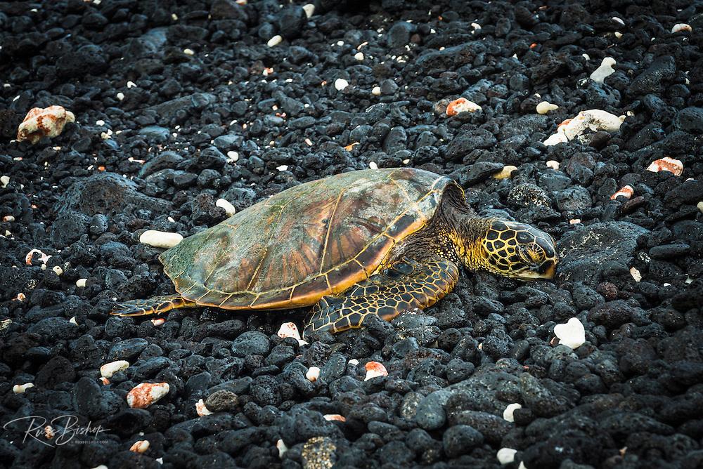 Hawaiian green sea turtle on a lava beach, Kohala Coast, The Big Island, Hawaii USA