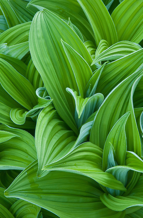 Corn lily leaves, Sol Duc Park meadow, Olympic National Park, Washington.