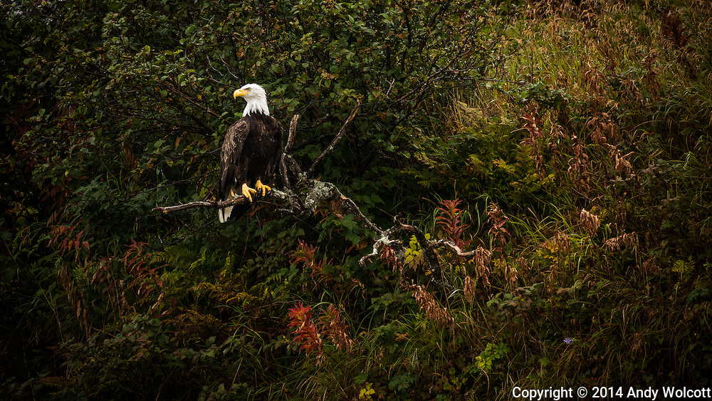 A Bald eagle perches on the perfect branch.
