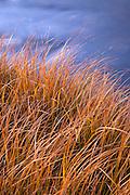 Wild grasses along the Rio Grande river near Pilar, New Mexico.