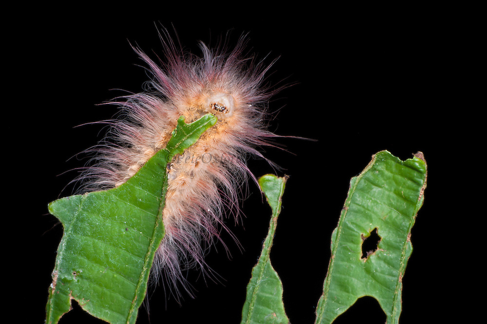 Pink Hairy Moth Caterpillar (Lepidoptera)<br /> Yasuni National Park, Amazon Rainforest<br /> ECUADOR. South America
