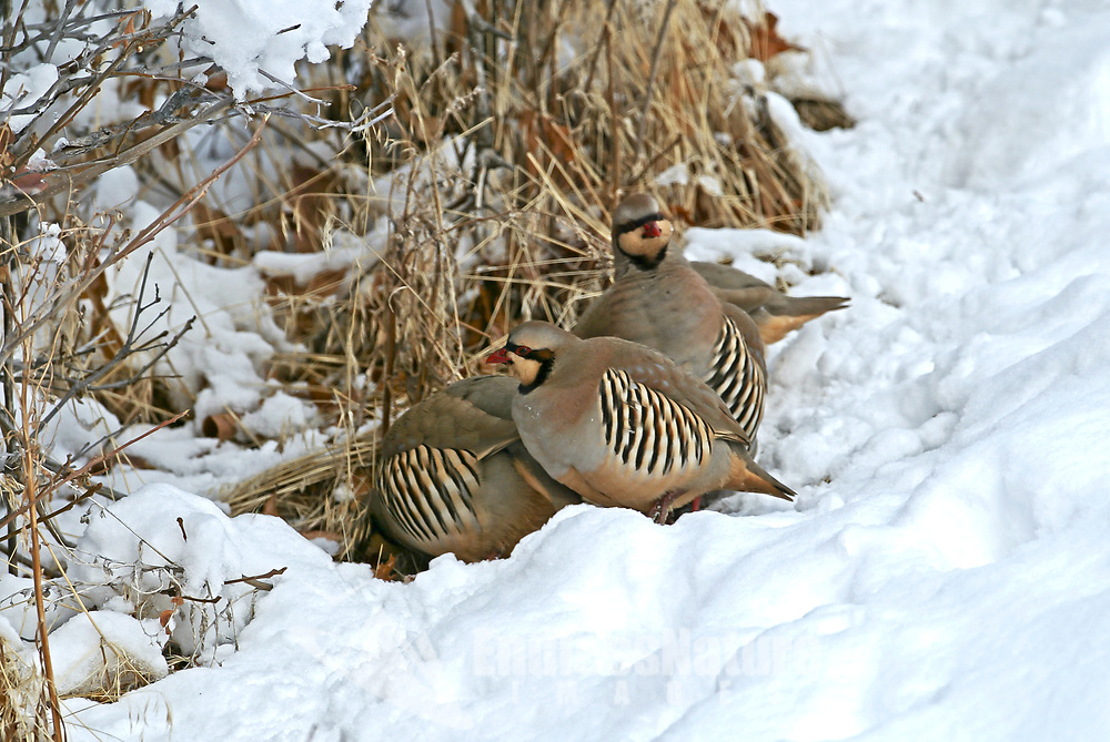 A small winter covey of Chukar Partridge feeds together on a snowy hillside.