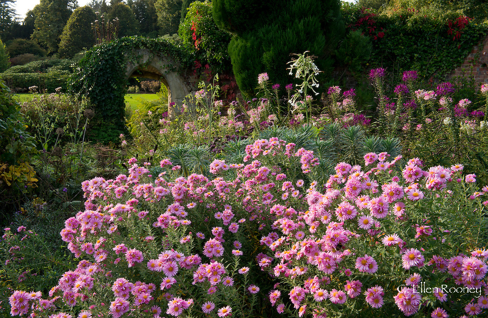 Pink asters and cleome in an autumn border at Scotney Castle, Tunbridge Wells, Kent, UK