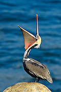 Brown Pelican (in breeding plumage) stretching its pouch in La Jolla, California