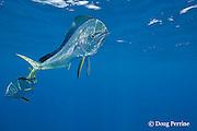 dorado, mahi mahi, or dolphin fish, Coryphaena hippurus, off Isla Mujeres, near Cancun, Yucatan Peninsula, Mexico ( Caribbean Sea ) (dm)