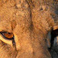 Botswana, Chobe National Park, Tight portrait of young male Lion (Panthera leo) in Savuti Marsh in early morning