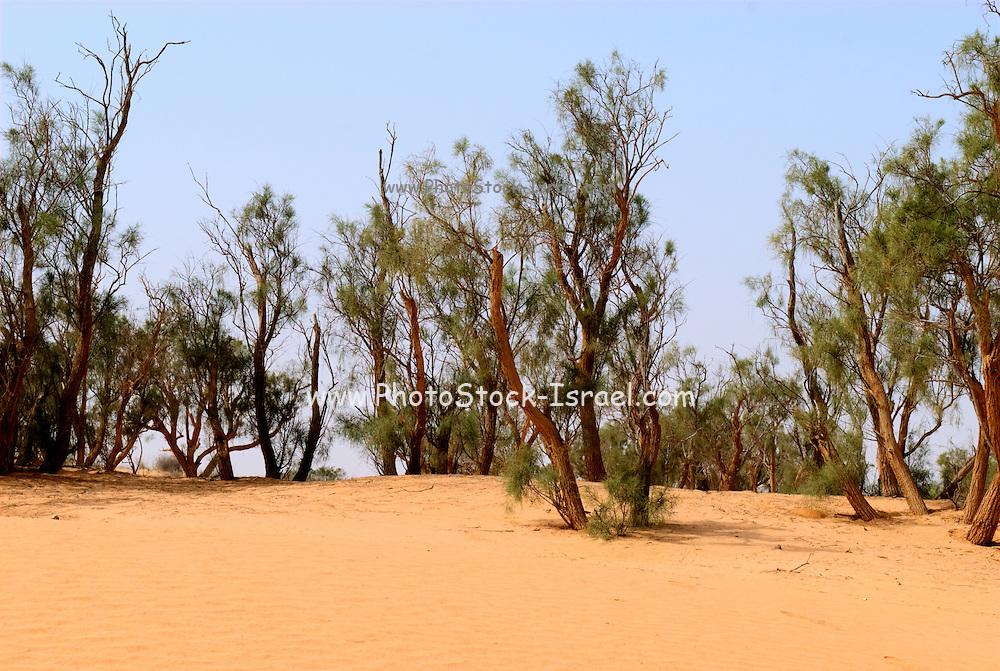 Israel, Negev Desert Tamarix (tamarisk, salt cedar) trees