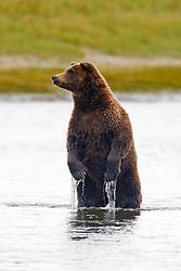 North American brown bear /  coastal grizzly bear (Ursus arctos horribilis) sow fishing in Silver Salmon Creek, Lake Clark National Park, Alaska, United States of America