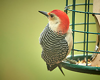 Red-bellied Woodpecker. Image taken with a Nikon D5 camera and 600 mm f/4 VR telephoto lens (ISO 400, 600 mm, f/4, 1/640 sec)