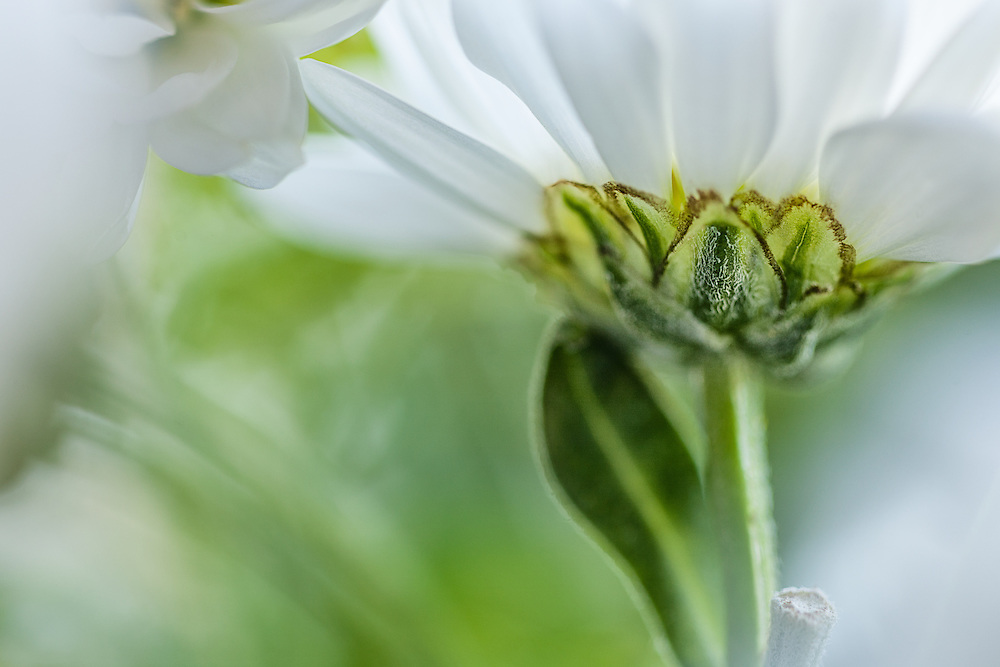 Photograph of a daisy with a soft feel to image.