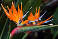 Water drips from the Bird of Paradise flowers in bloom.  Sintra, Portugal.
