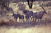 Oryx family, Samburu National Park, Kenya,