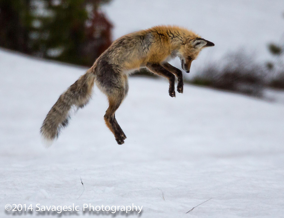 Red fox mid leap.