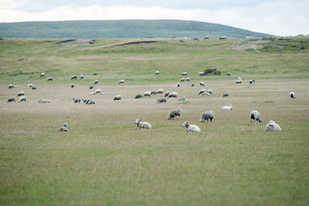Flock of Sheep, Punta Arenas Chile