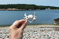Seal vertebra, either Harbor Seal or Gray Seal, Eastern Head, Isle au Haut, Maine