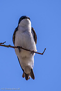 The white underside of the Tree Swallow shows clearly as this bird grips to a small twig.
