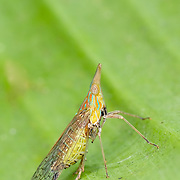 Long Nosed Planthopper (Dictyophara nakanonis, Dictyopharidae). Huai Kha Khaeng Wildlife Sanctuary, Thailand.