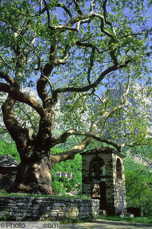 "A plane tree traditionally grows in the slate town squares of Zagoria, such as this one in Mikro Papingo village (or small Papigo, Greek: ), north Pindus Mountains (Pindos or Pindhos), Epirus/Epiros, Greece, Europe. Zagori (Greek: ) is a region and a municipality in the Pindus mountains in Epirus, in northwestern Greece. Zagori contains 45 villages collectively known as Zagoria (Zagorochoria or Zagorohoria). The northeast wall of Vikos Gorge is Mount Tymfi (or Greek: , also transliterated Timfi, Tymphe, or Tymphi), near the 40 degree parallel. Tymfi forms a massif with its highest peak, Gamila, at 2497 meters (8192 feet), the sixth highest in Greece. Published in ""Pindos: The National Park"" (2010) by Alexander G. Tziolas, preface by Tom Dempsey et al, ISBN 978-960-98795-3-8."