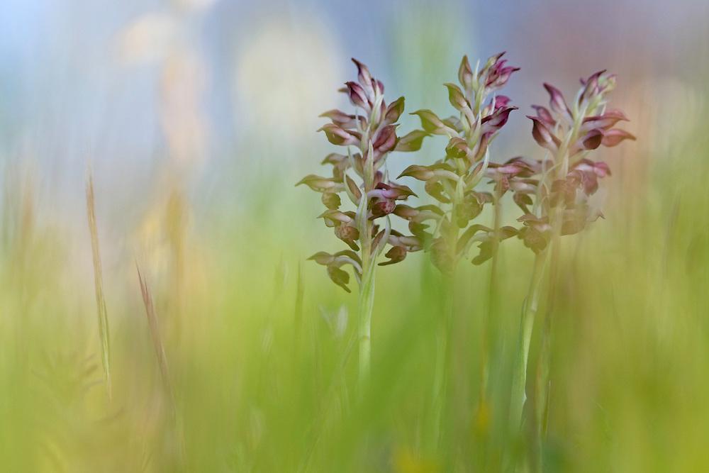 Anacamptis coriophora ssp. fragrans; Apulia; Fragrant Bug Orchid; Gargano National Park; Gargano Peninsula; Italy; Vieste