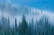 Foggy spruce forest on Hurricane Ridge in Olympic National Park, Washington