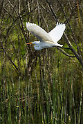 A great egret (Ardea alba) flies over the freshwater marsh of the Ballona Wetlands near Los Angeles, California. The Ballona Wetlands are one of the last wetlands of any significance in the Los Angeles basin.