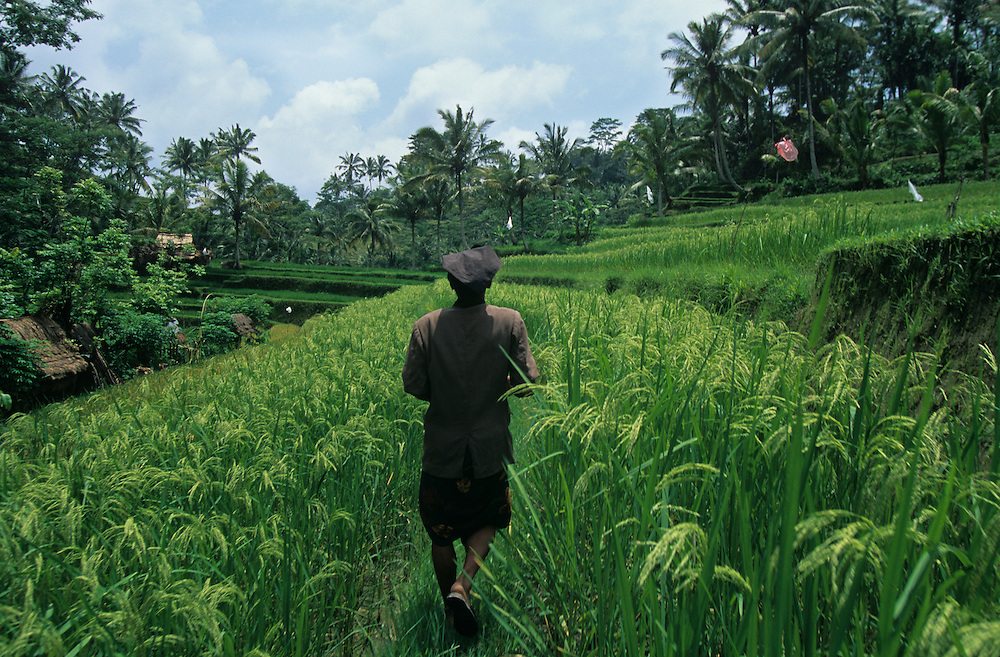 Indonesia, Bali, Farmer walks through rice field in central Bali