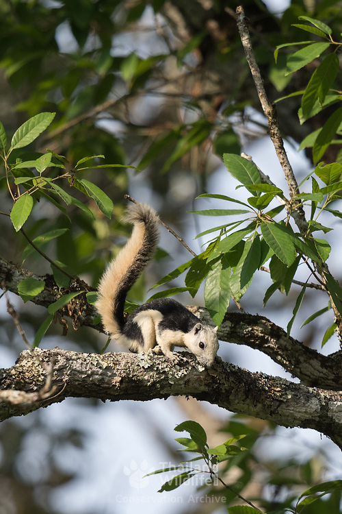 A Variable or Finlayson's Squirrel (Callosciurus finlaysonii bocourti) pied morph in Nam Nao National Park in Petchabun Province in the North East of Thailand.