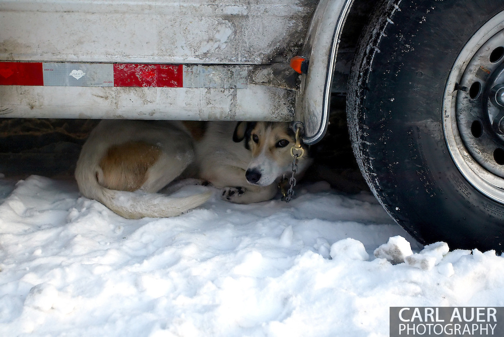 3/3/2007:  Anchorage Alaska -  One of the hundreds of dogs that are getting ready to make the run of over 1000 miles from Anchorage to Nome tries to get some shuteye prior to the running of the 35th Iditarod Sled Dog Race