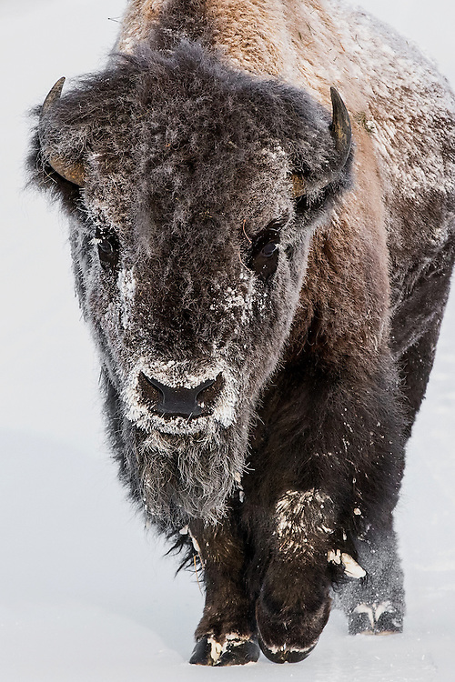 It was -28F when this big bull bison was making his way through Yellowstone National Park on a November morning. The air was so cold that the bull had ice on his eyelashes and each time he took a breath the vapor he produced froze around his nose and mouth. Bison are made for this type of weather and can withstand cold temperatures, in excess of -40F, but even knowing this, it didn't stop me from worrying about how this big bull would fare during the frigid Wyoming winter.