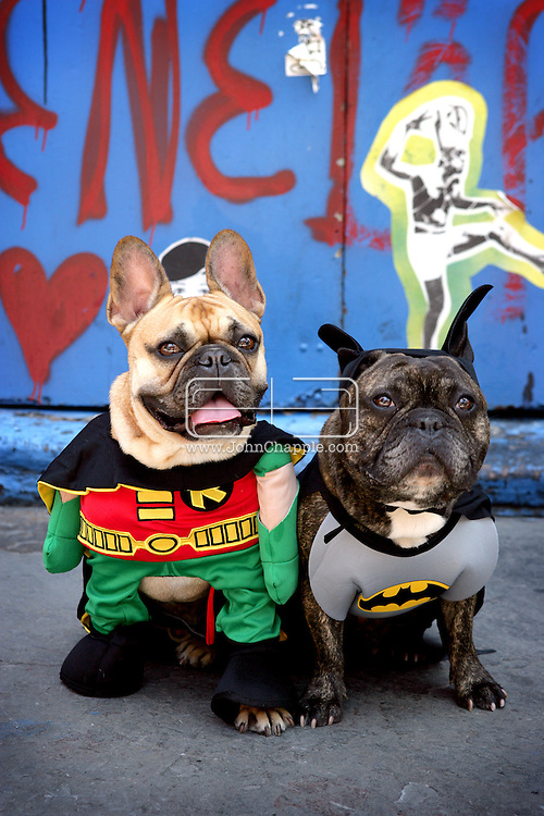 14th July 2006. New York, NY. Drumstick and Macho the French Bulldogs, posse in their Batman & Robin outfits. ..PHOTO © JOHN CHAPPLE / WWW.JOHNCHAPPLE.COM..THIS COPYRIGHTED IMAGE MUST NOT BE USED WITHOUT PERMISSION