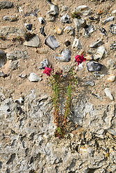 Flowers growing in wall at Binham Abbey, Norfolk