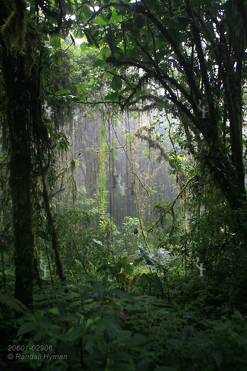 Sunlight filters through clearing in cloud forest of Santa Elena National Park, Costa Rica.