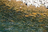 Pink salmon swim up the Quinsam River near Campbell River, BC for the annual summer spawning season.