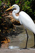 This Great Egret paused briefly for a nice portrait shot.