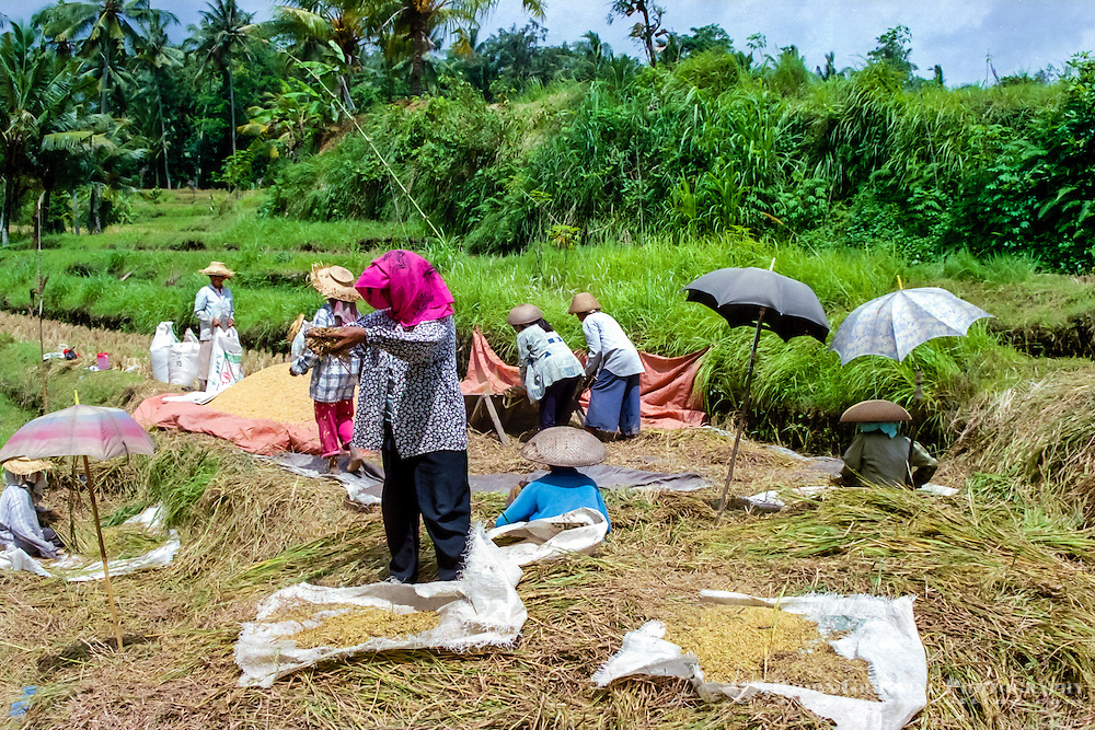 Bali, Gianyar, Bedulu. Cleaning and packing the rice before it is sent to the factory for further processing. Only women shall do this job for good luck.