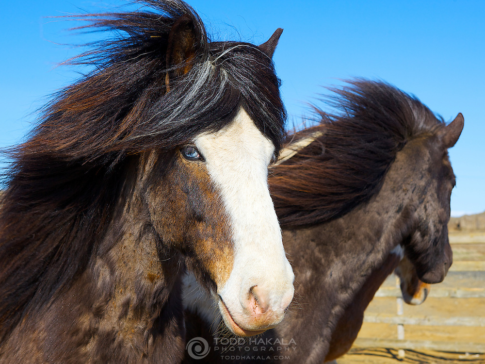 Long flowing manes and tails, sometimes accompanied with blue eyes, Icelandic horses are a perfect match to the stark beauty of the island nation.